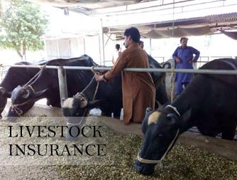 livestock-insurance.jpg